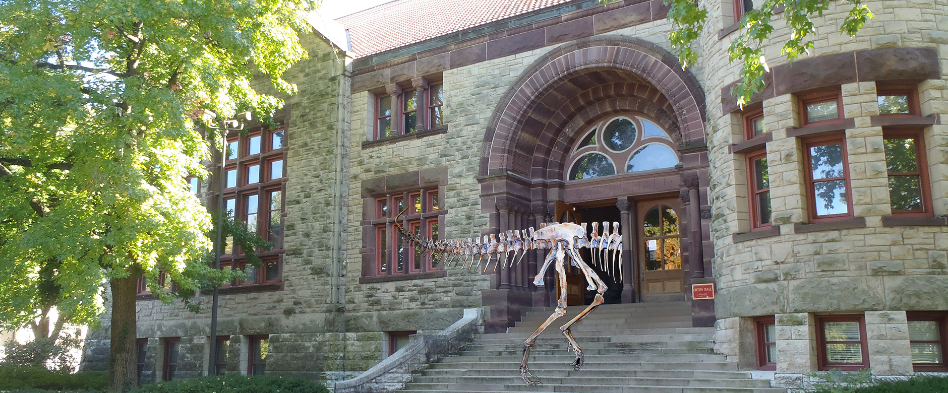 The dinosaur skeleton enters the Museum building